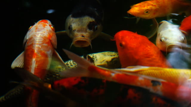 Slow motion of Beautiful koi fish swimming in the pond.