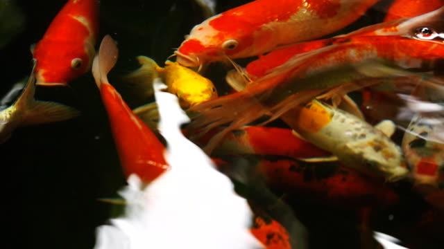 Slow motion of Beautiful koi fish