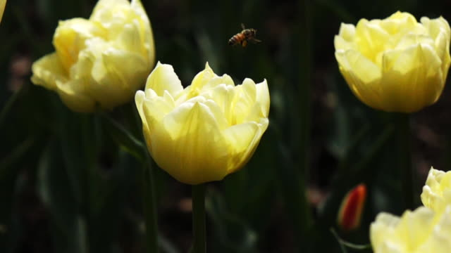 Slow motion of bee flying on tulip