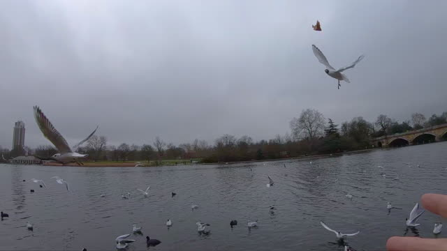 slow motion of birds catching food in the air in the hyde park during travel vacations in london. - 東ヨーロッパ民族点の映像素材/bロール