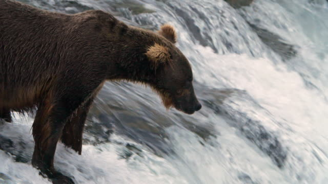 slow motion of brown bear catching salmon fish at brooks falls, katmai national park, alaska - gefangen stock-videos und b-roll-filmmaterial