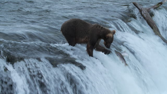 vídeos de stock, filmes e b-roll de slow motion of brown bear catching salmon fish at brooks falls, katmai national park, alaska - pegar