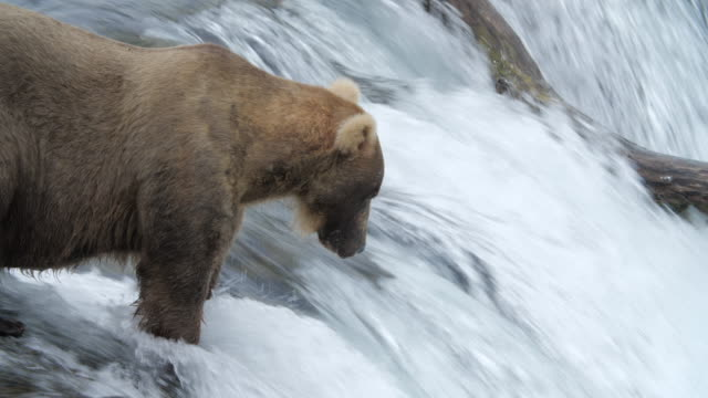 slow motion of brown bear catching salmon fish in alaska - smooth stock videos & royalty-free footage