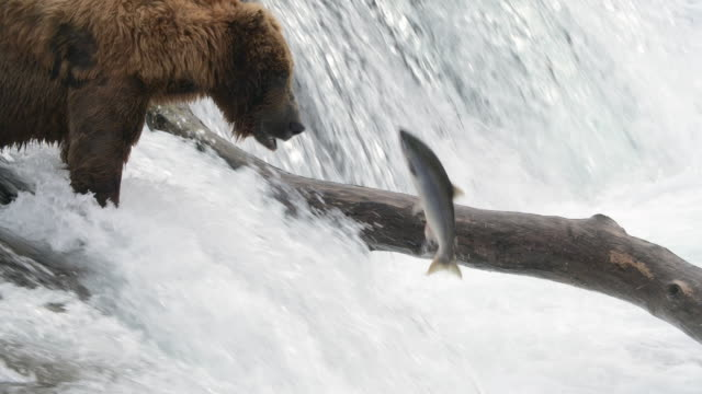 slow motion of brown bear trying to catch salmon fish at the brooks falls - smooth stock videos & royalty-free footage