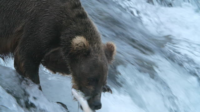slow motion of brown bear trying to catch the salmon fish in alaska, but failed at last, and it tried a lot of times! - falling water stock videos & royalty-free footage