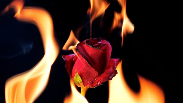 slow motion of burning red rose on black background - burning video stock e b–roll