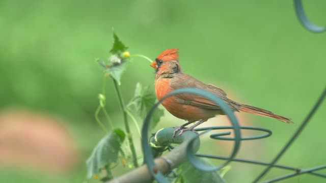 slow motion of cardinal perching in the garden - perching stock videos & royalty-free footage