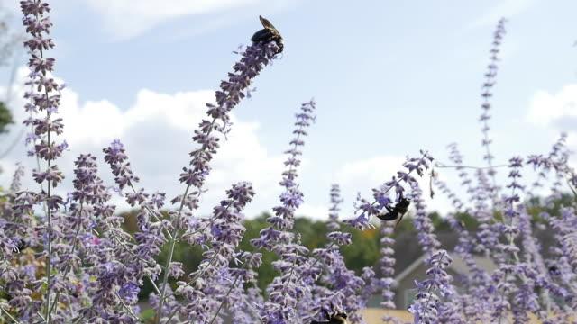 slow motion of carpenter bee and russian sage flower - セージブラッシュ点の映像素材/bロール