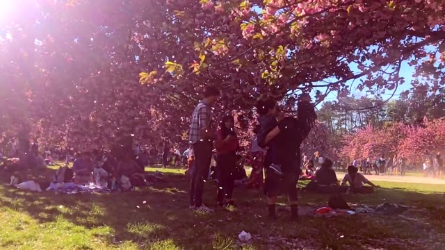 Slow motion of cherry blossom flowers falling during the Hanami festival in Sceaux France