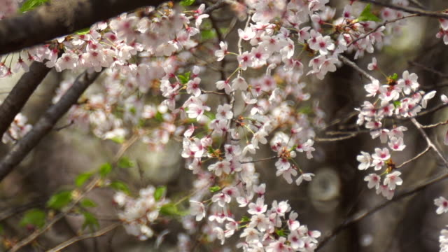 slow motion of cherry blossom - cherry blossom stock videos & royalty-free footage