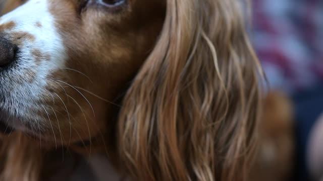 slow motion of cocker spaniel dog - animal ear stock videos & royalty-free footage