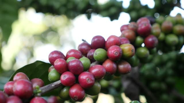 vidéos et rushes de mouvement lent de baie de café dans la plante - branche partie d'une plante