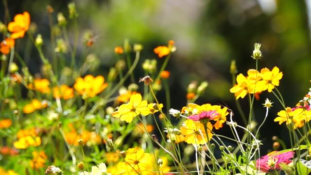slow motion of cosmos flower field. - chrysanthemum stock videos & royalty-free footage