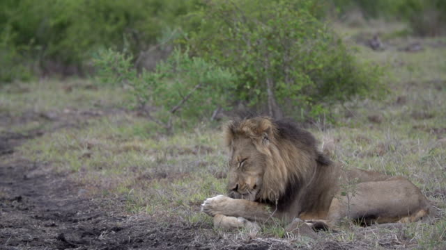 slow motion of dark-maned male lion grooms himself, kruger national park, south africa - mpumalanga province stock videos and b-roll footage