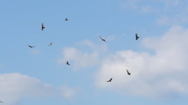 slow motion of eagle birds flying in florida - 鳥点の映像素材/bロール