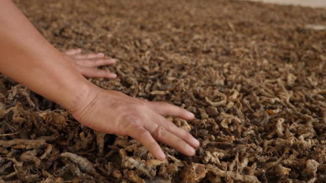 zeitlupe des landwirts trocknen kurkuma - sonnenhut stock-videos und b-roll-filmmaterial