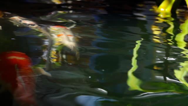 slow motion of Fish koi