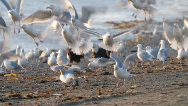 slow motion of flock of seagull birds taking off at sunset in alaska - sea water bird stock videos & royalty-free footage