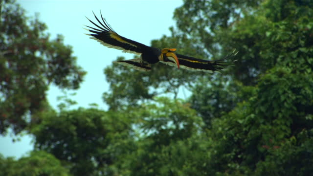 slow motion of great hornbill (buceros bicornis) flying in sumatra island, indonesia - animal wing stock videos & royalty-free footage