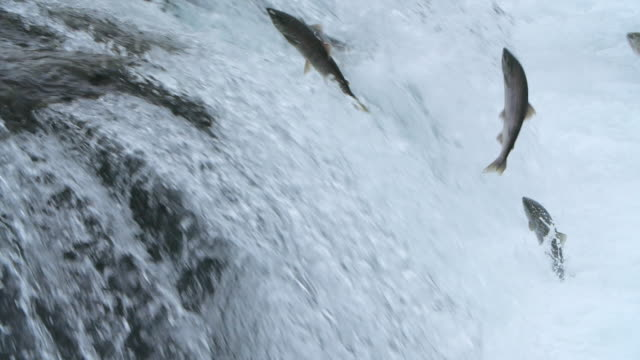 slow motion of group of salmon fish trying to jump up the waterfalls at the brooks falls in alaska - fish stock videos & royalty-free footage
