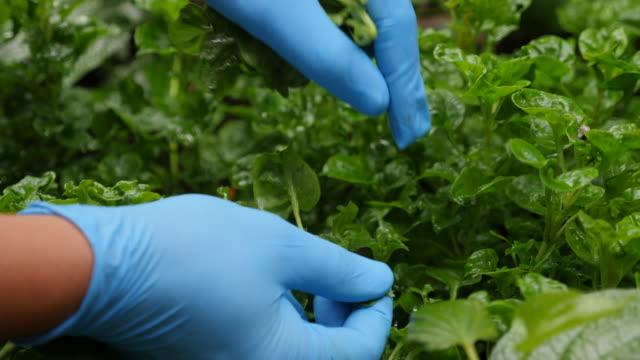 vídeos de stock e filmes b-roll de slow motion of hand harvesting watercress in the garden - luva peça de roupa