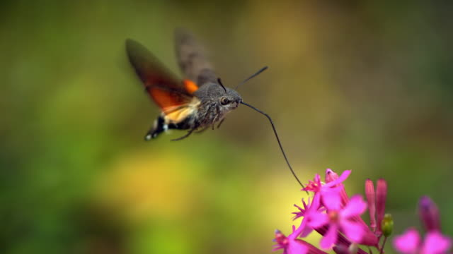 vídeos de stock e filmes b-roll de slow motion of hawk moth eating nectar from a flower (south korea) - inseto