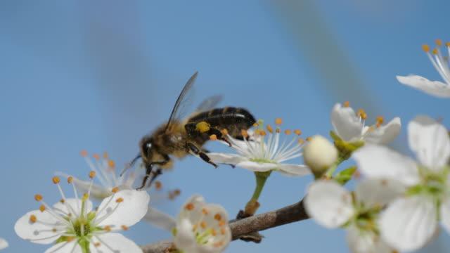 stockvideo's en b-roll-footage met slow motion of honey bee on blackthorn - honingbij
