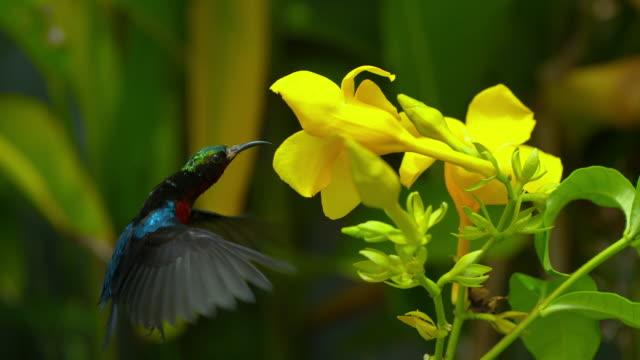 vídeos y material grabado en eventos de stock de slow motion of hummingbird eating nectar from a flower (south korea) - buena condición
