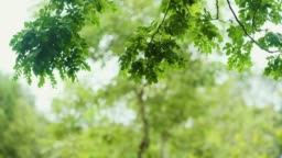 slow motion of Looking up at green leaves on tree branch blowing in the win at graden.nature phenomenon.