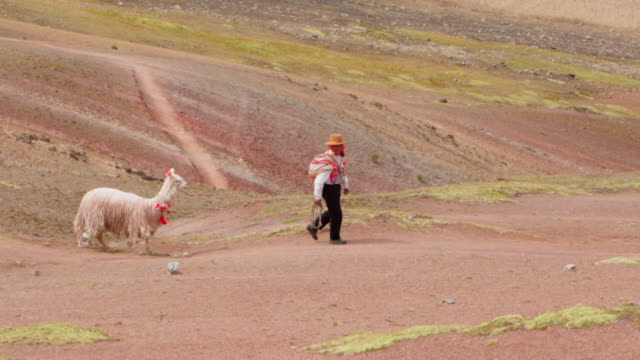 slow motion of man walking with alpaca on mountain, peruvian person hiking with livestock - rainbow mountain, peru - herbivorous stock videos & royalty-free footage