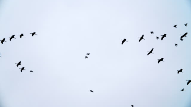slow motion of migrating flock of crane birds and small birds - oca uccello d'acqua dolce video stock e b–roll