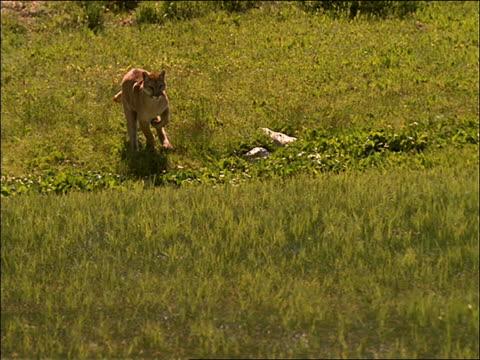 slow motion of mountain lion running in wet grass toward camera - puma felino selvatico video stock e b–roll