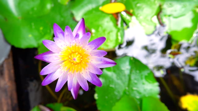 slow motion of of purple water lily blooming in morning - tiger lily stock videos & royalty-free footage