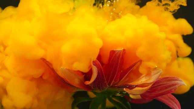 slow motion of orange gerbera flower with ink flowing underwater - watercolour painting stock videos & royalty-free footage