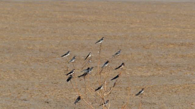 Langsame Bewegung von Pazifik-Schluckvogel