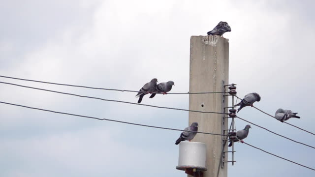 vídeos de stock e filmes b-roll de slow motion of pigeon birds on cable wires - cabo