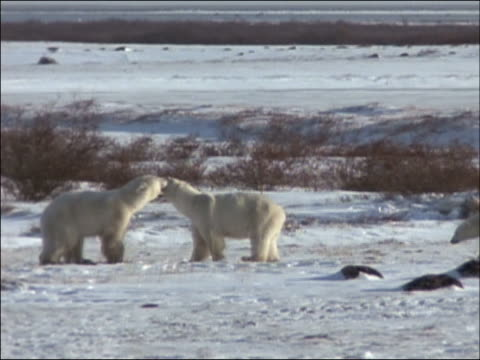 slow motion of polar bear (ursus maritimus) mother followed by two cubs scuffling with adult male polar bear / churchill, manitoba, canada - male animal stock videos & royalty-free footage