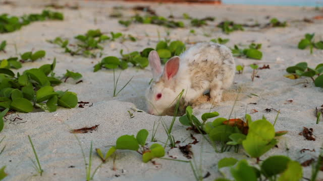 slow motion of rabbit digging sand at beach during sunset - south male atoll, maldives - young animal stock videos & royalty-free footage