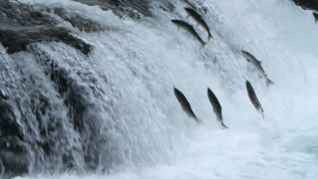 slow motion of salmon fish jumping at the brooks falls in alaska - salmon stock videos & royalty-free footage