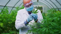Slow motion of scientist with mask, glasses and gloves is checking hemp plants in a greenhouse, used used for herbal alternative medicines and cbd oil production