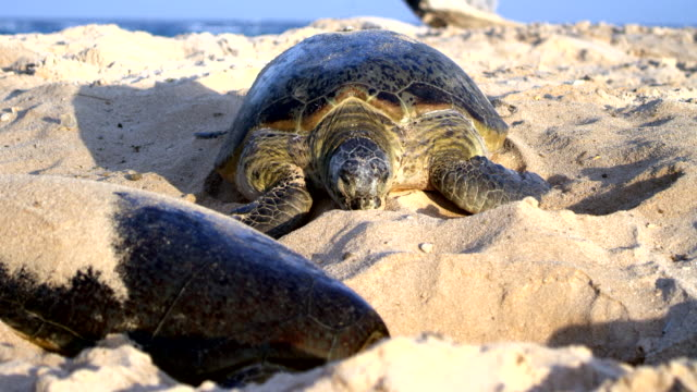 slow motion of sea turtles digging nests - green turtle stock videos & royalty-free footage