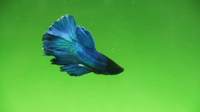 slow motion of siamese fighting fish swimming over green screen - tropical fish stock videos & royalty-free footage