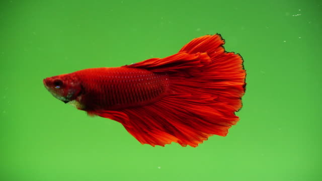slow motion of siamese fighting fish swimming over green screen - fish stock videos & royalty-free footage