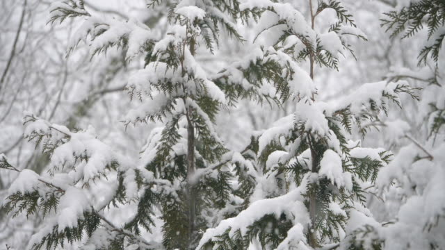 slow motion of snowing and pine trees - pinaceae stock videos & royalty-free footage