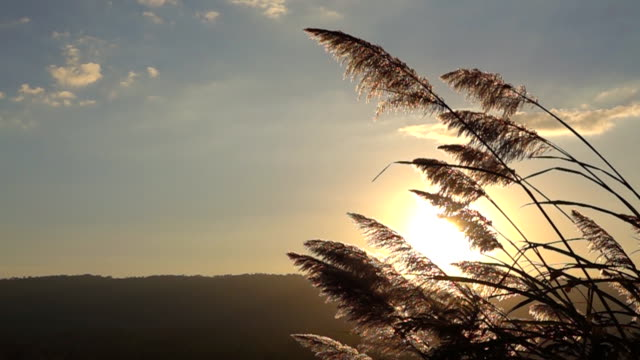 slow motion of the mountain grass flowers at sunset on the wind - grass family stock videos & royalty-free footage