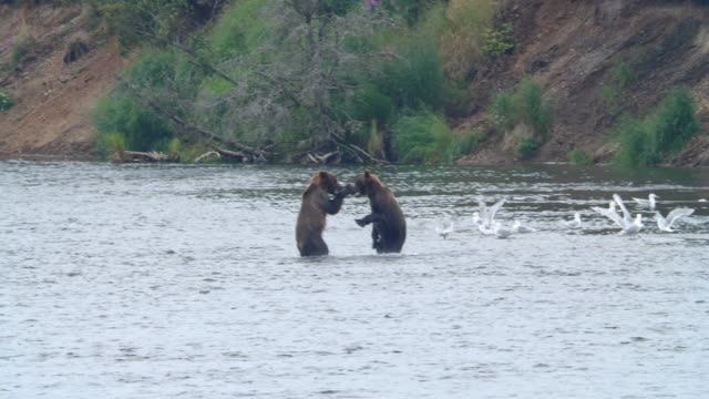 slow motion of two brown bears fighting in the river at the katmai national park, alaska - fighting stock videos & royalty-free footage