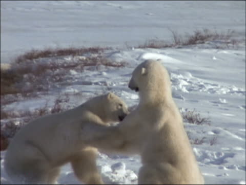 Slow motion of two polar bears playing in snow (Ursus maritimus) / Churchill, Manitoba, Canada