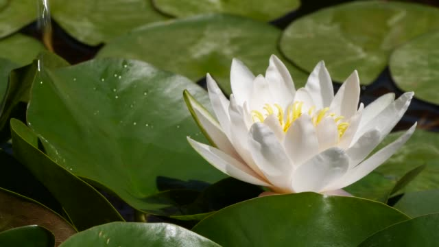 slow motion of water falling from leaf near white lotus water lily flower - botany stock videos & royalty-free footage