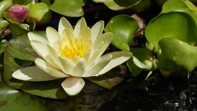 långsam rörelse av vatten som faller från blad nära vit lotus näckrosblomma blomma - akvatisk organism bildbanksvideor och videomaterial från bakom kulisserna