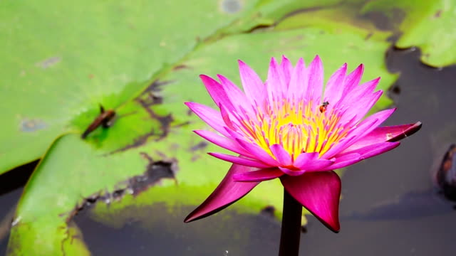 slow motion of water lily blooming in pond - tiger lily stock videos & royalty-free footage